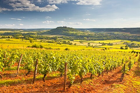 Vezelay Vineyard
